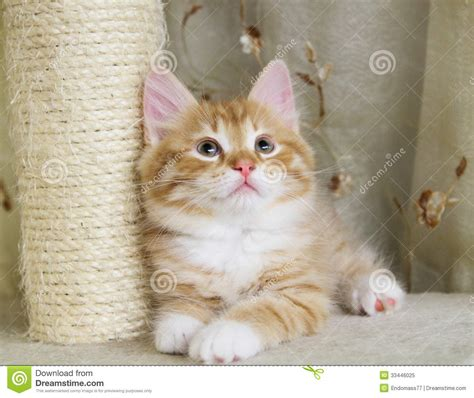 Puppy Of Siberian Cat, Red Version Royalty Free Stock