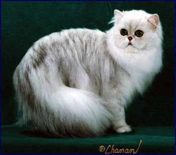 1712 best images about persian cats on Pinterest