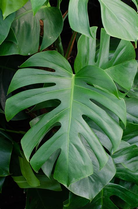 Monstera deliciosa Swiss Cheese Plant   House of Plants